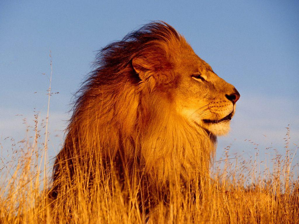 El gran leon... entra!!! :D + yapa el rey leon... bueno
